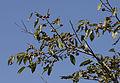 Caucasian persimmon - Diospyros lotus 02.jpg