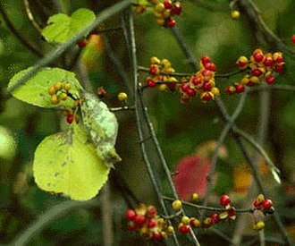 Celastraceae - Oriental staff vine (Celastrus orbiculatus)