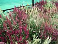 Celosia wool flower from Lalbagh flower show Aug 2013 8464.JPG