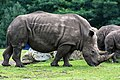 Ceratotherium simum - Serengeti-Park Hodenhagen 2017 07.jpg