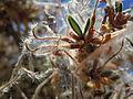 Cercocarpus ledifolius (5063241150).jpg
