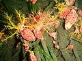 Cercodemas anceps Red box sea cucumber PC260158.JPG