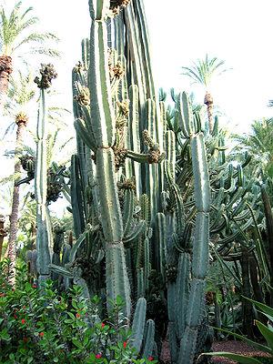 Cereus (plant) - Cereus peruvianus