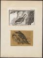 Certhia familiaris - 1700-1880 - Print - Iconographia Zoologica - Special Collections University of Amsterdam - UBA01 IZ19200351.tif