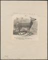 Cervus alfredi - 1872 - Print - Iconographia Zoologica - Special Collections University of Amsterdam - UBA01 IZ21500138.tif