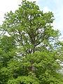 Chêne de Haguenau.JPG