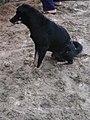 Chó đen (chó mực) ở Cát Sơn (4).jpg