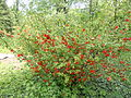 Chaenomeles, Ботанічний сад ОНУ.jpg