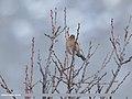 Chaffinch (Fringilla coelebs) (49702042038).jpg