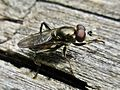 Chalcosyrphus nemorum (Syrphidae) - (male imago), Arnhem, the Netherlands.jpg