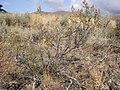 Chamaebatiaria millefolium (4345607824).jpg