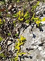 Chamaecytisus (Fabaceae) 02.jpg