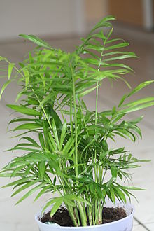 Chamaedorea elegans wikipedia la enciclopedia libre - Planta interior palmera ...