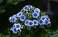 Chatham Island forget-me-nots (Myosotidium hortensia).jpg