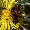Cheilosia grossa (female) - Great Spring-cheilosia - Flickr - S. Rae (3).jpg