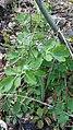 Cheledonium majus, Papaveraceae 01.jpg