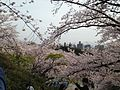 Cherry blossoms in front of torii of Terumo Shrine in Nishi Park 4.JPG