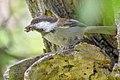 Chestnut-backed Chickadee (27670751418).jpg