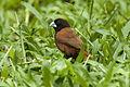 Chestnut Munia - Palawan - Philippines H8O0544 (22364803684).jpg