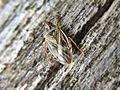 Chilacis typhae (Lygaeidae) (Bulrush bug) - (imago), Elst (Gld), the Netherlands.jpg