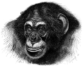 Chimpanzee head sketch.png