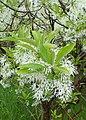 Chionanthus virginicus kz09.jpg
