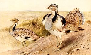 MacQueen's bustard - Illustration of a male in partial display with the ruff or collar erected