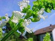 Flowering basil stalk