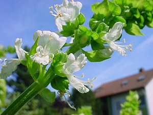Ocimum americanum - A flowering stalk of O. americanum