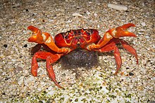 Christmas Island Red Crab.Christmas Island Red Crab Wikipedia