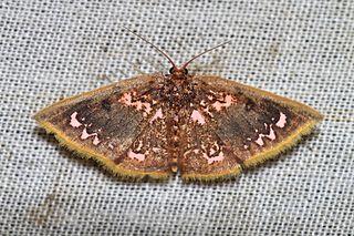 <i>Chrysocraspeda abhadraca</i> species of insect
