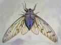 Cicada nagerhole un.jpg