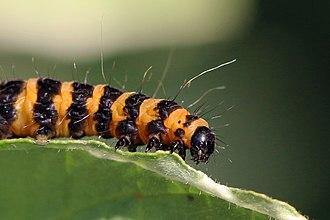 Cinnabar moth - Image: Cinnabar moth caterpillar (Tyria jacobaeae) head