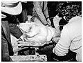 Circello - Slaughter of pig (07 of 24) Rien ne va plus, les jeux sont faits (25178922271).jpg