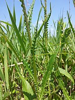 Cirsium brachycephalum sl5.jpg