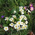 City of London Cemetery and Crematorium - Primrose, Primula vulgaris.jpg