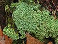 Cladonia caespiticia (4503939941).jpg