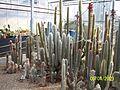 Cleistocactus species (3424144561).jpg
