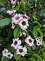 Climbing Oleander(Strophanthus gratus) 12.jpg