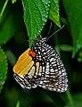 Close wing position of Elymnias vasudeva Moore, 1857 – Jezebel Palmfly WLB DSC 0056 (21).jpg