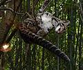 Clouded Leopard Slurp NashvilleZoo Cropped.jpg