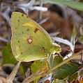 Clouded Yellow. Colias crocea - Flickr - gailhampshire (1).jpg