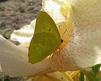 Cloudless Sulphur butterfly.jpg