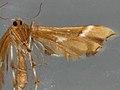 Cnaemidophorus rhododactyla (35736967963).jpg