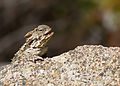 Coast Horned Lizard (Phrynosoma coronatum) (5801319389).jpg