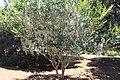 Coastal Georgia Botanical Gardens, Hybrid Crapemyrtle lagerstroemia 'Zuni'.jpg