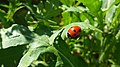 Coccinella septempunctata by me.jpg