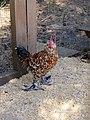 Cochin Rooster (11430542476).jpg