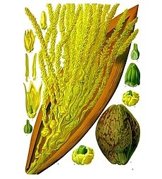 Cocos nucifera - Köhler–s Medizinal-Pflanzen-188.jpg