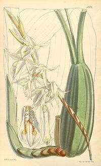 Coelogyne stricta (as Coelogyne elata) - Curtis' 83 (Ser. 3 no. 13) pl. 5001 (1857)